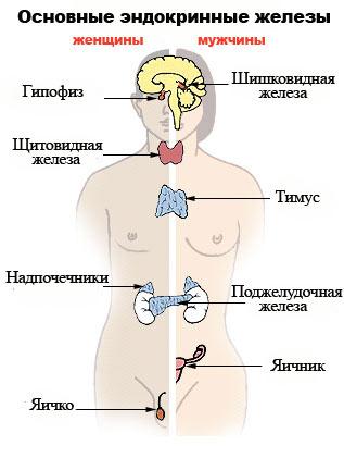 Основные эндокринные железы.  Схема